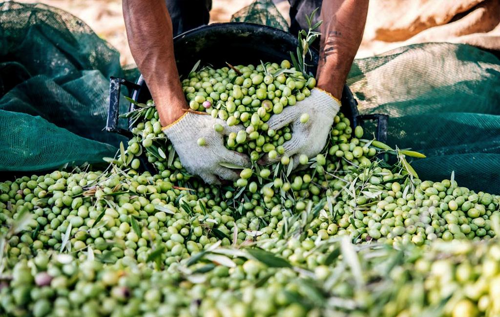 Il tradizionale rituale della raccolta delle olive | Carapelli